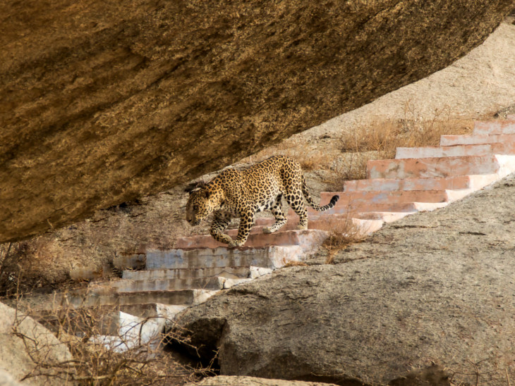 मंदिर की सीढ़ियों पर आराम से घूमते रहते हैं पैंथर।
