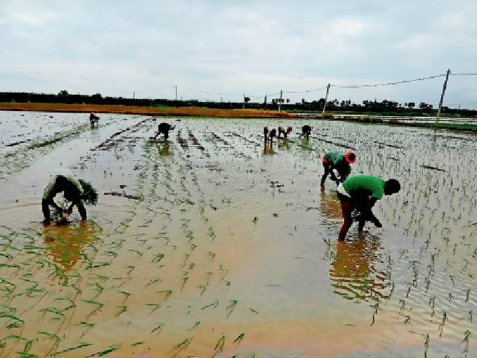 धान की रोपाई में जुटे किसान, जिले के नुरसराय्र राजगीर, बेन और हिलसा में रोपनी पूरी हो चुकी है। - Dainik Bhaskar