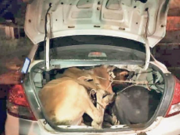स्विफ्ट डिजायर कार में ऐसे ठूंसा था मवेशियों को। - Dainik Bhaskar