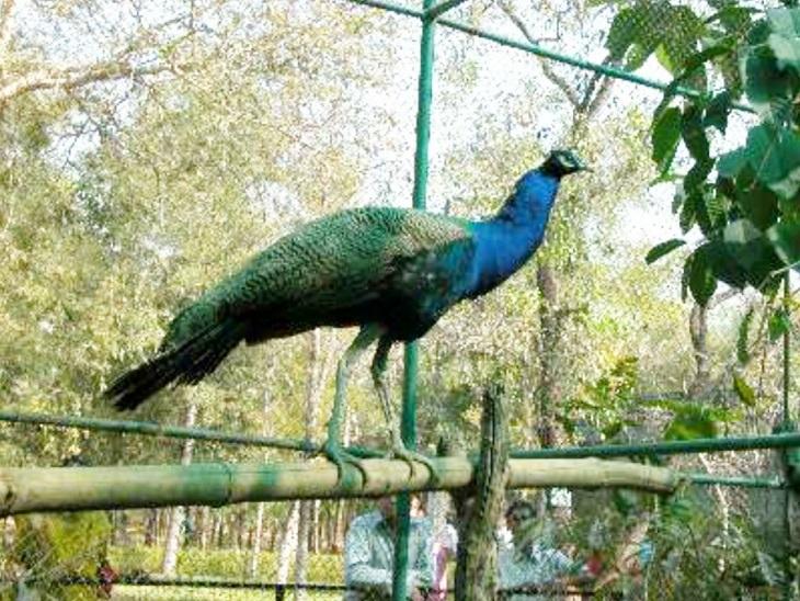 कानन पेंडारी जू में रहता है मोर का जोड़ा।