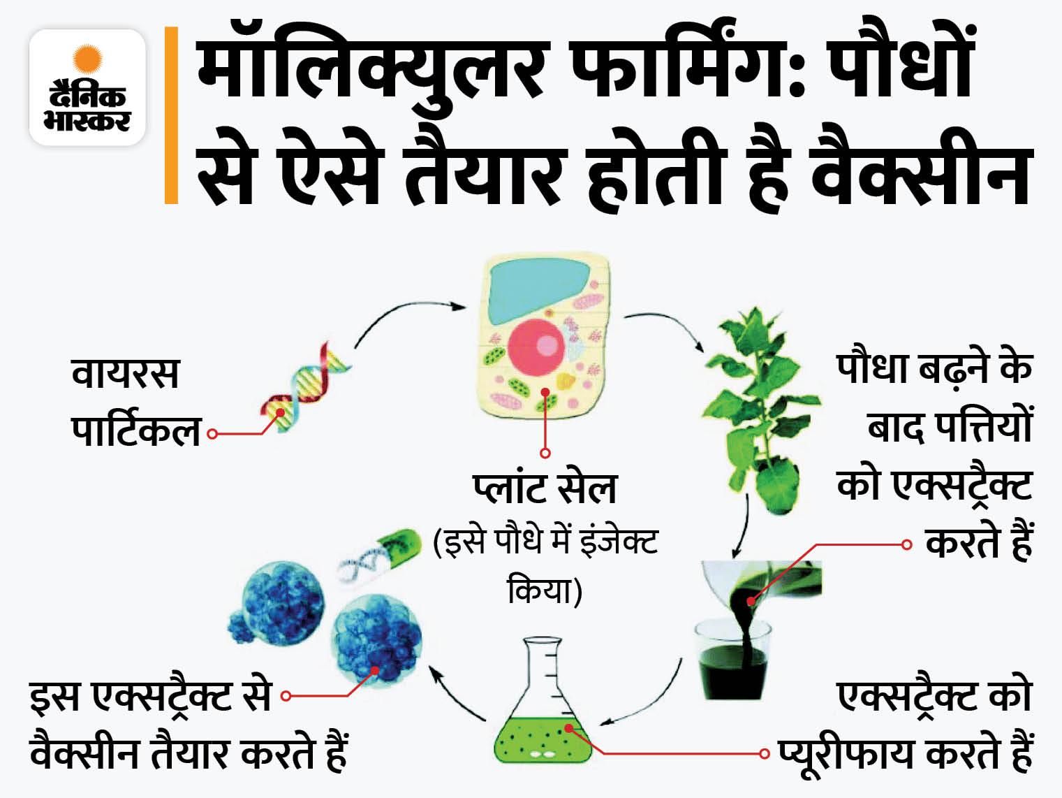 पौधे से बनाई कोविड-19 की वैक्सीन CoVLP; वैज्ञानिकों का दावा- इस तकनीक से तैयार टीके की कीमत बेहद कम होगी|लाइफ & साइंस,Happy Life - Dainik Bhaskar