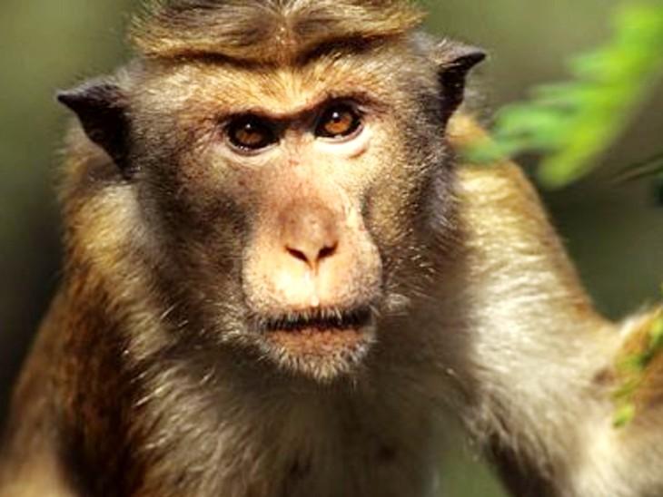 इंसानों की तरह बंदर भी तनाव से जूझते हैं, जब बड़ा इनाम जीतने की बारी आती है तो ये भी नर्वस हो जाते हैं; अमेरिकी वैज्ञानिकों का दावा|लाइफ & साइंस,Happy Life - Dainik Bhaskar