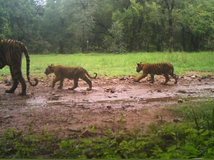 तीन शावकों संग नजर आई बाघिन टी-105, वन विभाग कर रहा मॉनिटरिंग; अब बाघों का कुनबा बढ़कर 74 सवाई माधोपुर,Sawai Madhopur - Dainik Bhaskar