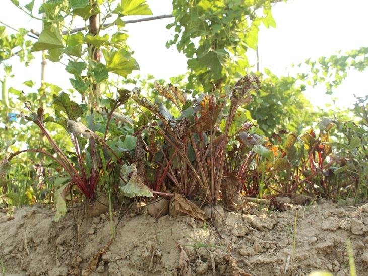 अक्षय कहते हैं कि हम पूरी तरह से ऑर्गेनिक खेती करते हैं। इसमें किसी भी तरह का केमिकल नहीं मिलाते हैं। कस्टमर चाहे तो फार्म में आकर देख भी सकता है।