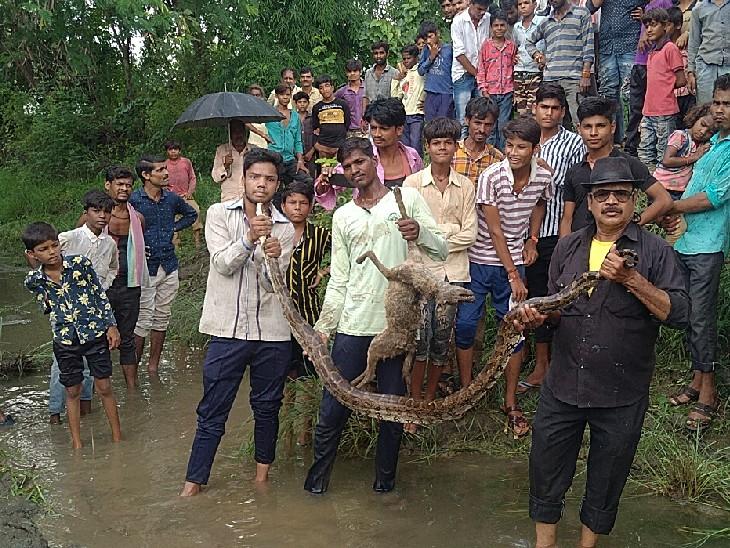 सियार को निगलने वाला था अजगर; फॉरेस्ट टीम ने दोनों छोर से पकड़कर हटाया, फोटो खिंचाने के लिए गांववालों में मची होड़|सागर,Sagar - Dainik Bhaskar