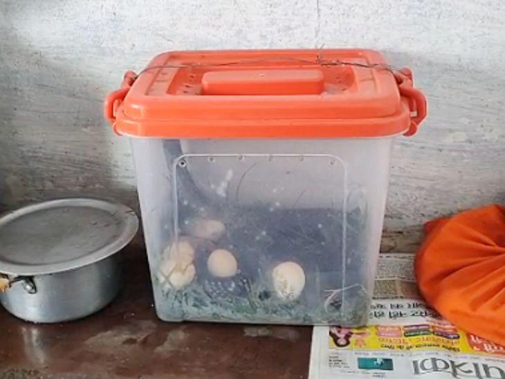 बैतूल में बॉक्स में कोबरा को बंद कर दिया था।