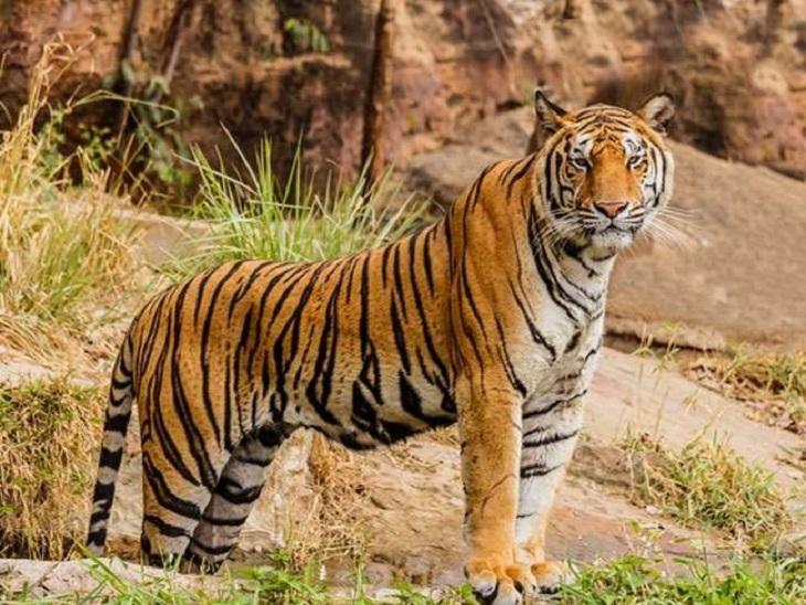 गुरु घासीदास राष्ट्रीय उद्यान को टाइगर रिजर्व बनाने का रास्ता साफ, NTCA की तकनीकी समिति ने दी अनुमति रायपुर,Raipur - Dainik Bhaskar