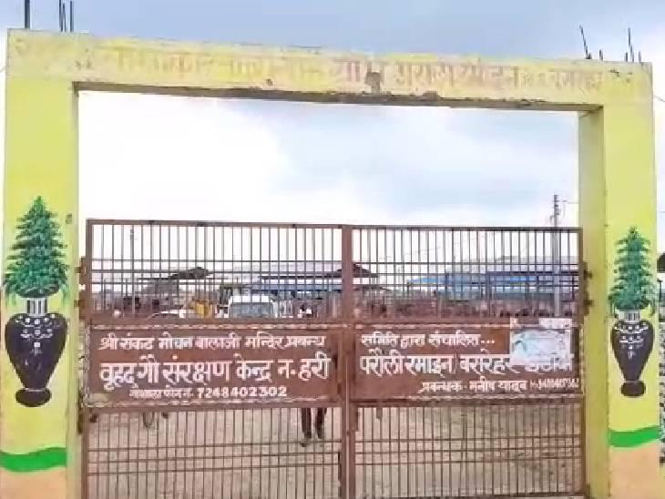 नगला हरी में स्थित रामायन गोशाला में ही मृत गायों को दफन किया जा रहा है।