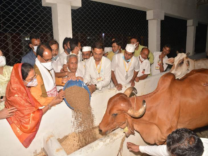 दयोदया गौशाला में ग्रास खिलाकर गौ का पूजन करते हुए सीएम।