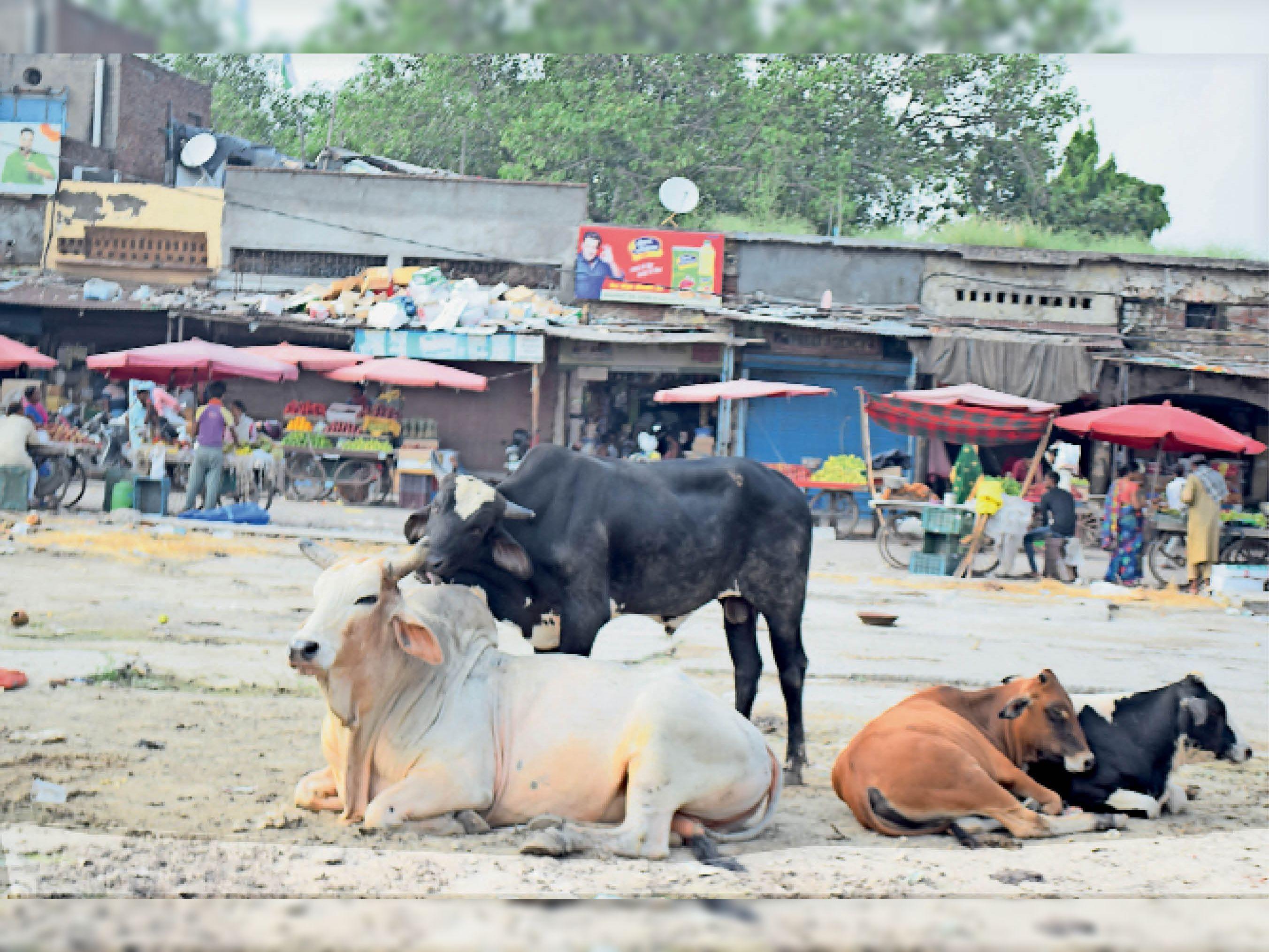 सनाैली राेड शिव चाैक पर बैठे पशु, फोटो- नवीन मिश्रा - Dainik Bhaskar