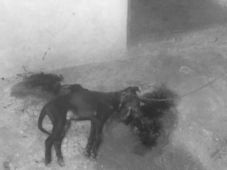 जमीप पर मरा पड़ा डॉग। - Dainik Bhaskar