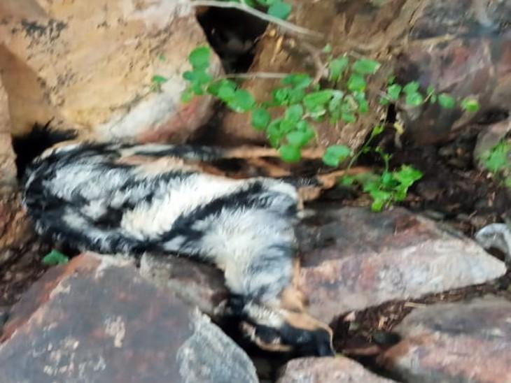 बिजली गिरने से 4 बकरियों की मौत, चराने गए लोगों ने भागकर बचाई जान|उदयपुर,Udaipur - Dainik Bhaskar