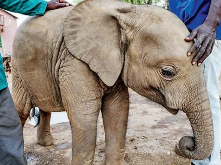 अनाथ हाथी शावकों को सामान्यत: मां के मृत शरीर के पास पाया जाता है। - Dainik Bhaskar