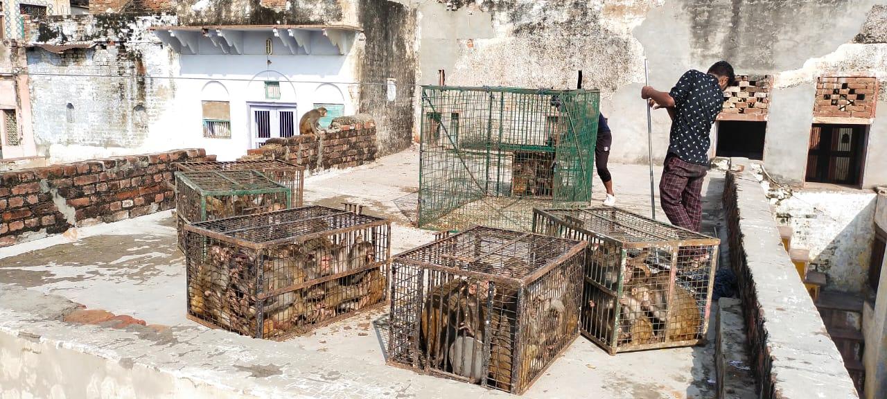 मथुरा में समस्या बन चुके बंदरों को पकड़ने की आखिर नगर निगम को याद आ गयी - Dainik Bhaskar
