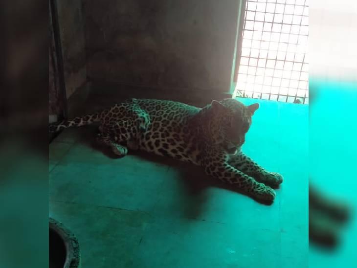 तेंदुआ पन्ना का जीवित अवस्था का फोटो। - Dainik Bhaskar