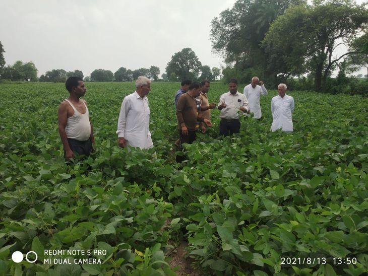 सोयाबीन की नई वैरायटी की फसलों को मिली अच्छी ग्रोथ, किसानों के चेहरे खिले|इंदौर,Indore - Dainik Bhaskar