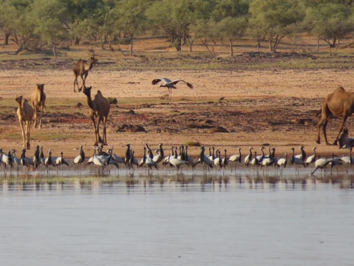 देगराय ओरण की जमीन पर प्रवासी पक्षी कुरजां।