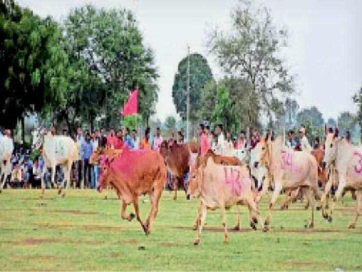 ग्राम मड़ियापार में कोरोनाकाल के बाद स्थानीय स्तर पर बैल दौड़ कराया गया। - Dainik Bhaskar