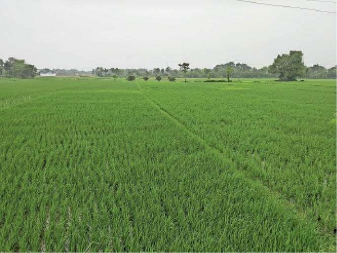 खेताें में लगी धान की फसल। - Dainik Bhaskar