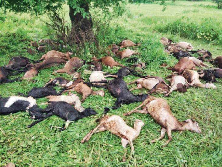 महासमुंद में  बिजली गिरने से 41 बकरे-बकरियों की मौत। - Dainik Bhaskar