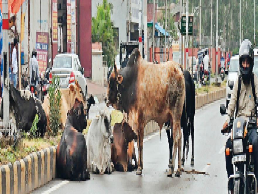 आईटीआई के पास राेड के बीच में बैठे आवारा पशु। - Dainik Bhaskar