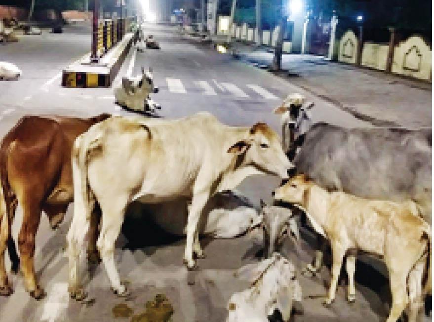 दिल्ली रोड पर सोमवार रात 12 बजे गायों का जमावड़ा। - Dainik Bhaskar