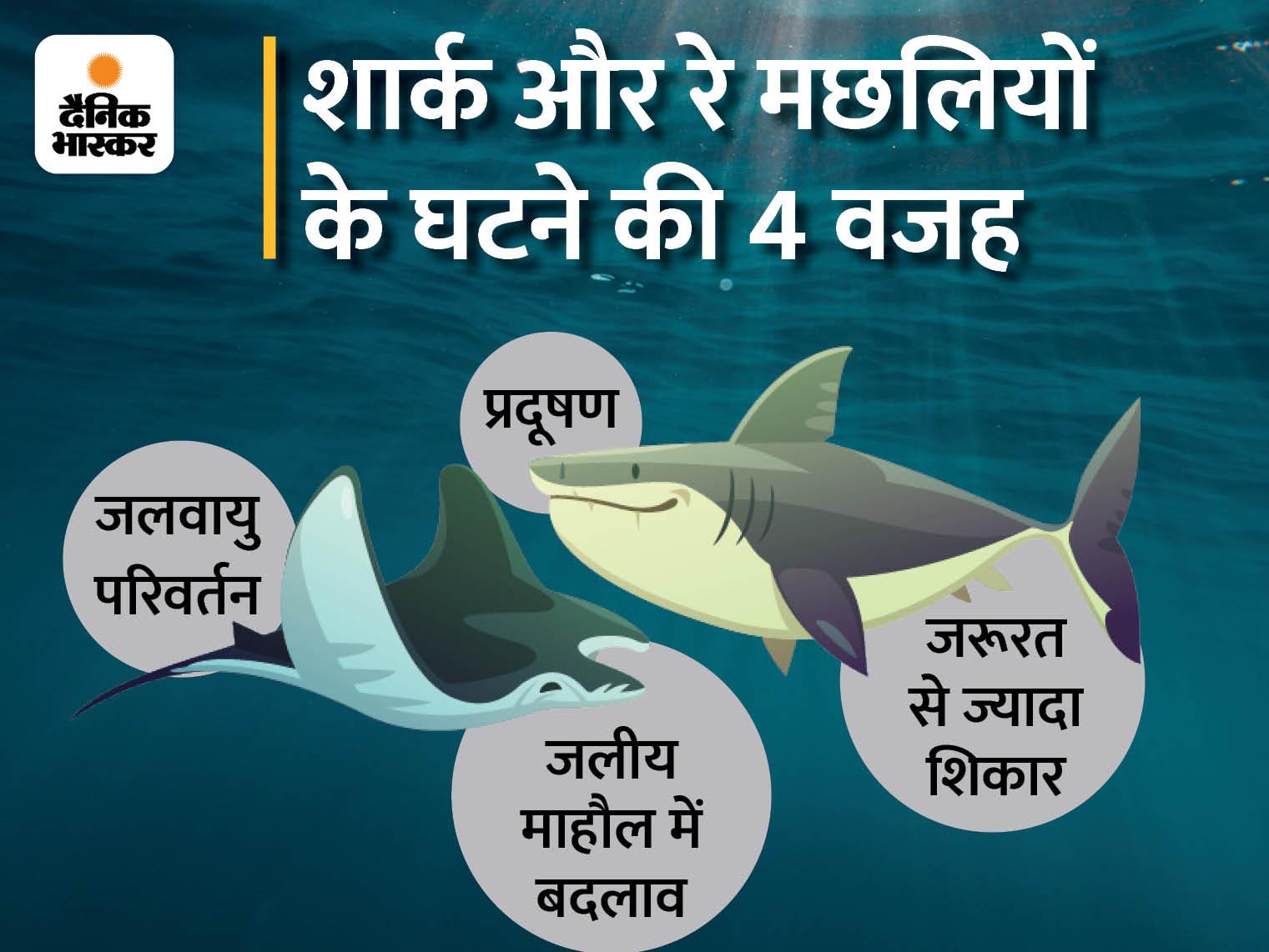 40 फीसदी तक शार्क और रे मछली विलुप्ति की कगार पर, वजह; जलवायु परिवर्तन और मछलियों का अधिक शिकार, 8 साल में खतरा दोगुना हुआ लाइफ & साइंस,Happy Life - Dainik Bhaskar