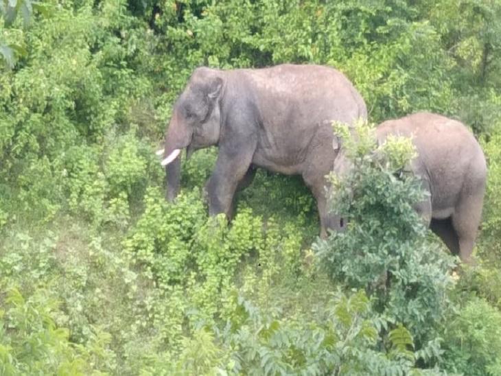 देर रात 2 हाथियों ने एक बैल पर किया हमला, फसलों को भी पहुंचाया नकुसान; दहशत में लोग|छत्तीसगढ़,Chhattisgarh - Dainik Bhaskar