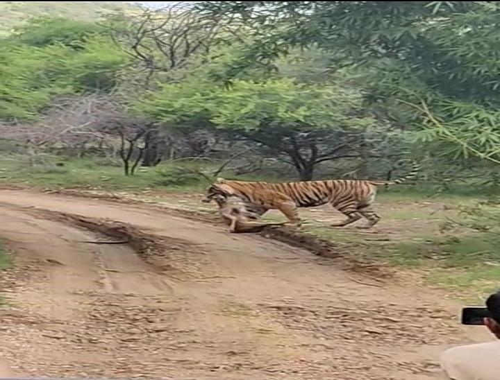 रणथम्भौर के जोन नंबर 6 के ओडन्या की तलाई में सांभर के बच्चे का शिकार, टूरिस्ट ने बनाया VIDEO सवाई माधोपुर,Sawai Madhopur - Dainik Bhaskar