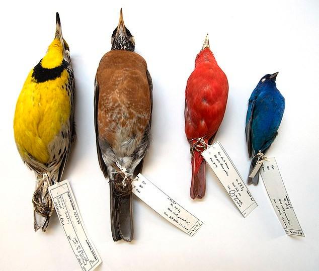 1978 से लेकर 2016 इकट्ठा की गईं इन प्रवासी चिड़ियों का विश्लेषण किया गया तो पाया गया कि इनके शरीर का आकार छोटा हुआ और पंख बढ़े हैं।