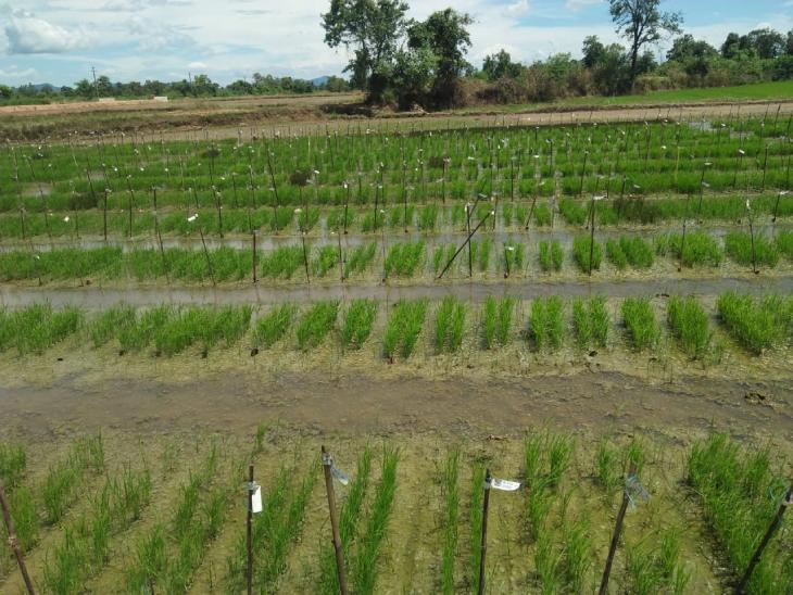 बीज को बचाने के लिए सुदामा अपने खेत को अलग-अलग हिस्सों में बांट लेते हैं। इसके बाद वैराइटी के हिसाब से उनकी प्लांटिंग करते हैं।