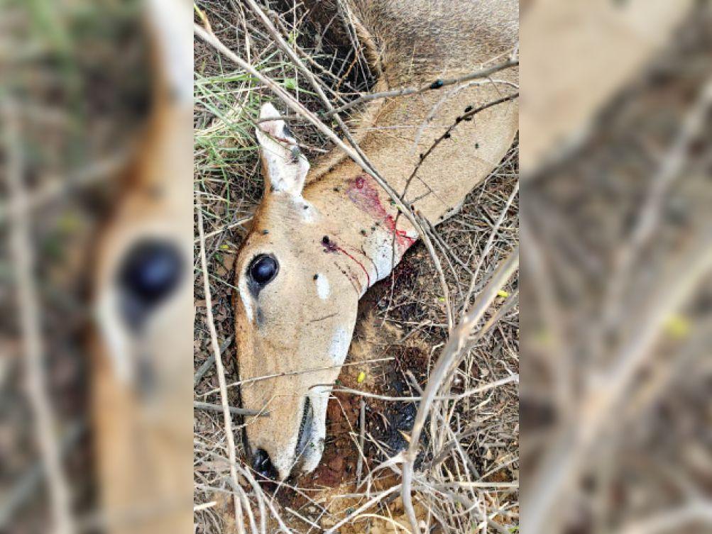 फतेहाबाद। टोपीदार बंदूक से हमला कर किया गया हिरण का शिकार। (फाइल फोटो) - Dainik Bhaskar