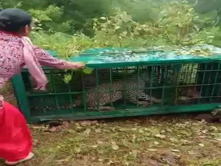 एक महीने में 12 से ज्यादा बाड़ों में मवेशियों को बना चुका शिकार, वनकर्मी पिंजरे के पास गए तो गुर्राए|उदयपुर,Udaipur - Dainik Bhaskar