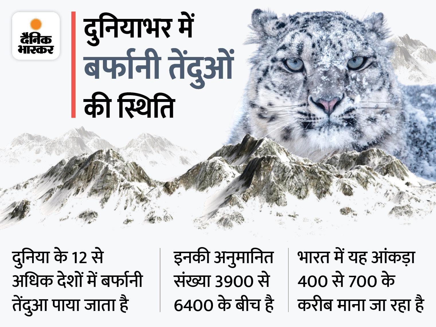 राज्य में अब तक के अध्ययन में मिले 73 हिम तेंदुए, 10 बफीर्ली जगहों पर ट्रैप कैमरों में दिए दिखाई|शिमला,Shimla - Dainik Bhaskar