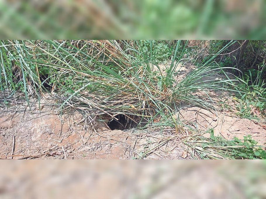 बबुरा गांव के पास बांध में शाहिलों की मांद। - Dainik Bhaskar