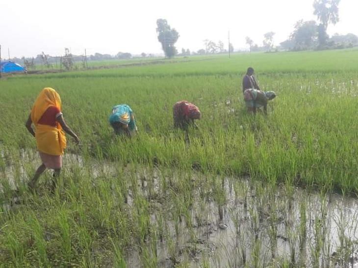 धान का पीक सीजन होने के कारण खेत में खेती कर रहे मजदूर और किसान, इधर अपने चहेतों के माध्यम से ही काम चला रहे प्रत्याशी|गया,Gaya - Dainik Bhaskar