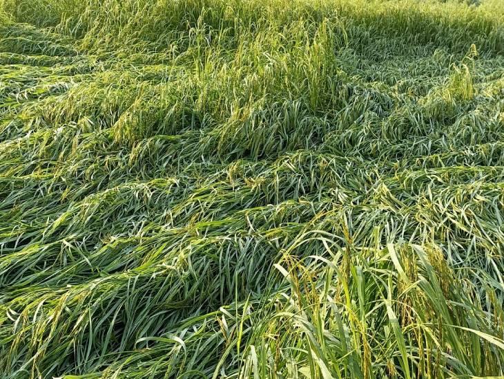 बाराबंकी जिले में शनिवार को हुई तेज हवा के साथ बारिश से धान की फसल को भारी नुकसान हुआ।