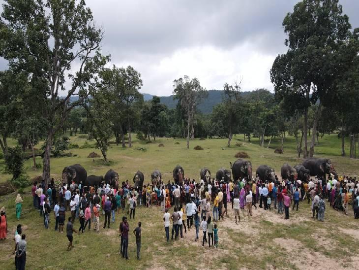 नेशनल पार्कों में रह रहे 75 पालतू हाथियों के ब्लड-यूरिन जांच से पता लगाएंगे गंभीर बीमारी|जबलपुर,Jabalpur - Dainik Bhaskar