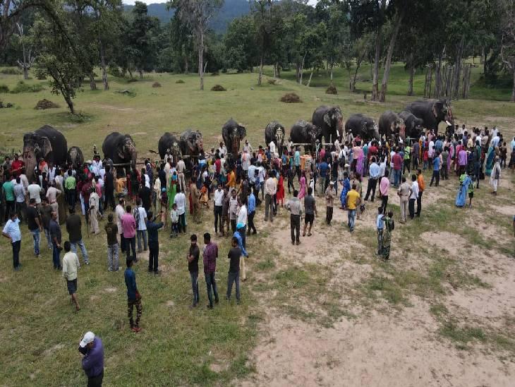 बांधवगढ़ा में 14 हाथी और उनके बच्चों की सेहत की जांच की गई।