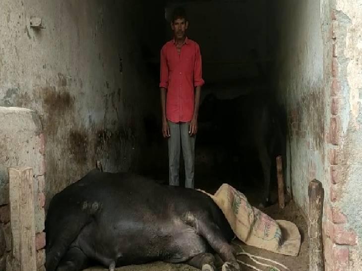 पशुओं की मौत से ग्रामीण हैं दुखी। - Dainik Bhaskar