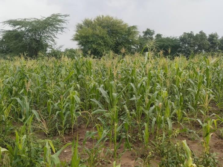 खेतों में खड़ी फसलों को हुआ काफी फायदा।