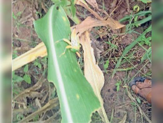 टोंक। डारड़ाहिंद गांव के पास ज्वार की फसल में हुआ नुकसान (ऊपर), खेत में ज्वार की फसल को चट करता फड़का। - Dainik Bhaskar