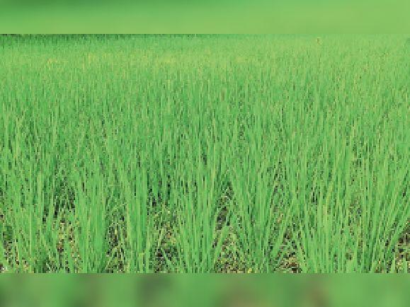 बारिश नहीं होने से धान के उंंचे खेतों में पानी नहीं है। इस कारण धान के बीच घास उग गए हैं। - Dainik Bhaskar