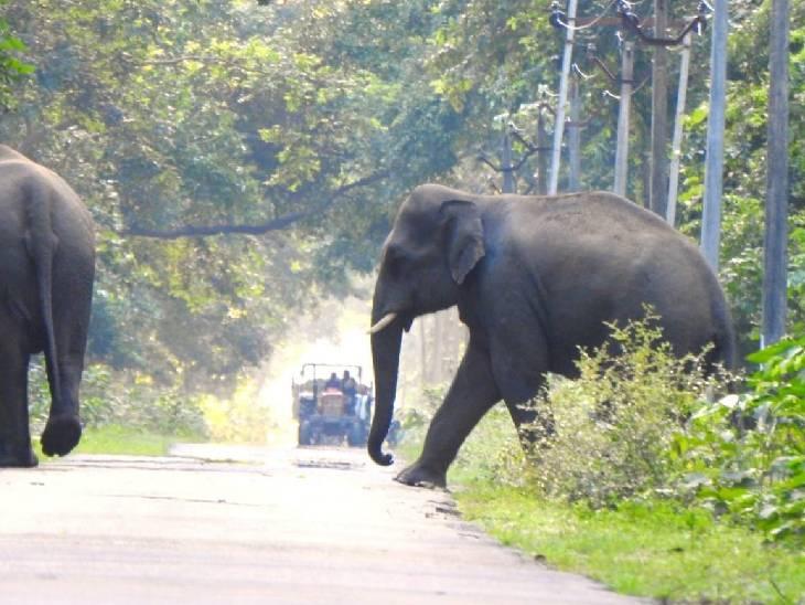 नेपाली हाथी टाइगर रिजर्व से सटे गांवों के आसपास चलहकदमी कर रहे हैं।