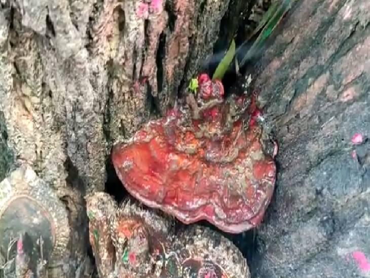 हरदोई के 200 साल पुराने मंदिर में नीम के पेड़ों के बीच दिख रही एक मूर्ति, ग्रामीणों का दावा यह मूर्ति प्रकट हुई है, लगा रहे जयकारे|हरदोई,Hardoi - Dainik Bhaskar