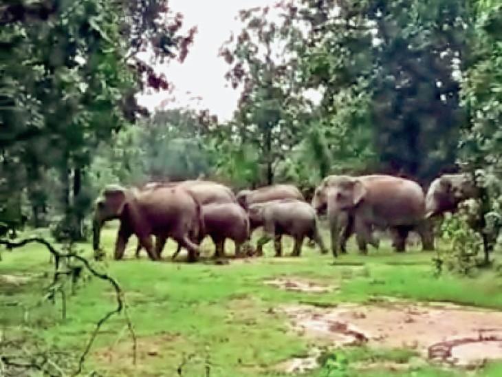 धमतरी. नरहरपुर क्षेत्र से होकर 14 हाथियों का दल वापस जिले के बांसपानी, बिरगुड़ी लौट आया। - Dainik Bhaskar
