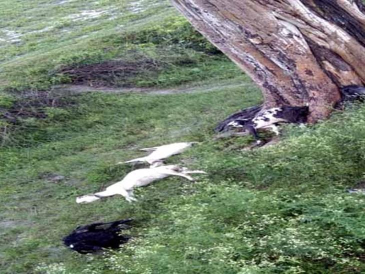 आकाशीय बिजली से आधा दर्जन बकरियों की मौत हो गई