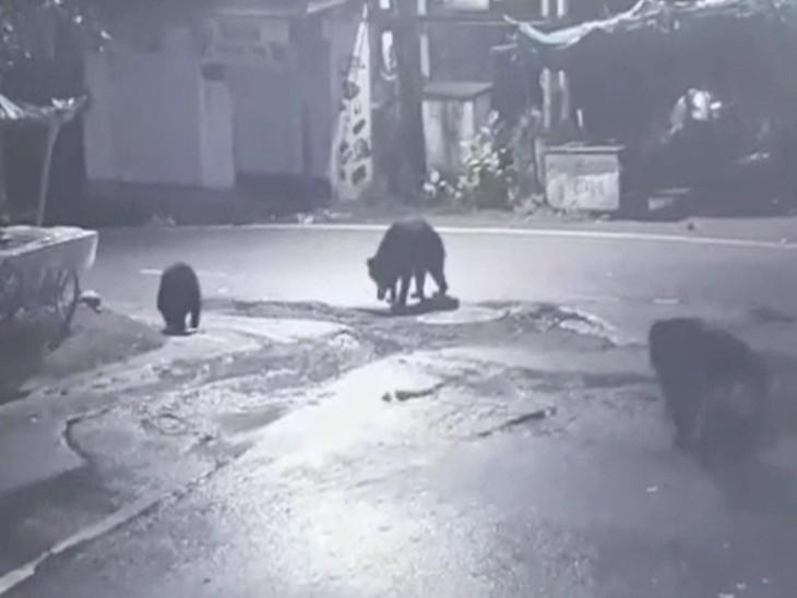 देलवाड़ा चौराया पर 3 भालू एक साथ दिखते हुए।