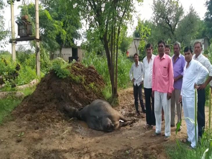बिजली विभाग की लापरवाही- हाईटेंशन लाइन में फाल्ट से घरेलू उपकरण फूंके, करंट से एक भैंस की हुई मौत|झुंझुनूं,Jhunjhunu - Dainik Bhaskar