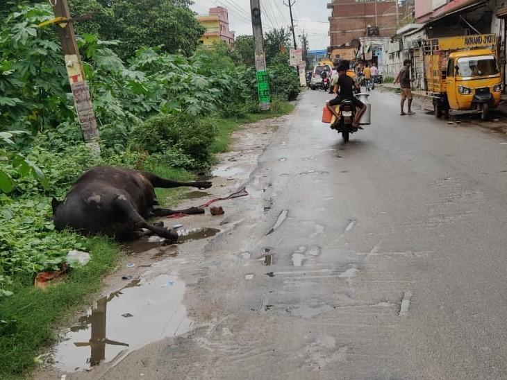 जानवर के शव से फैल सकती है बीमारी। - Dainik Bhaskar